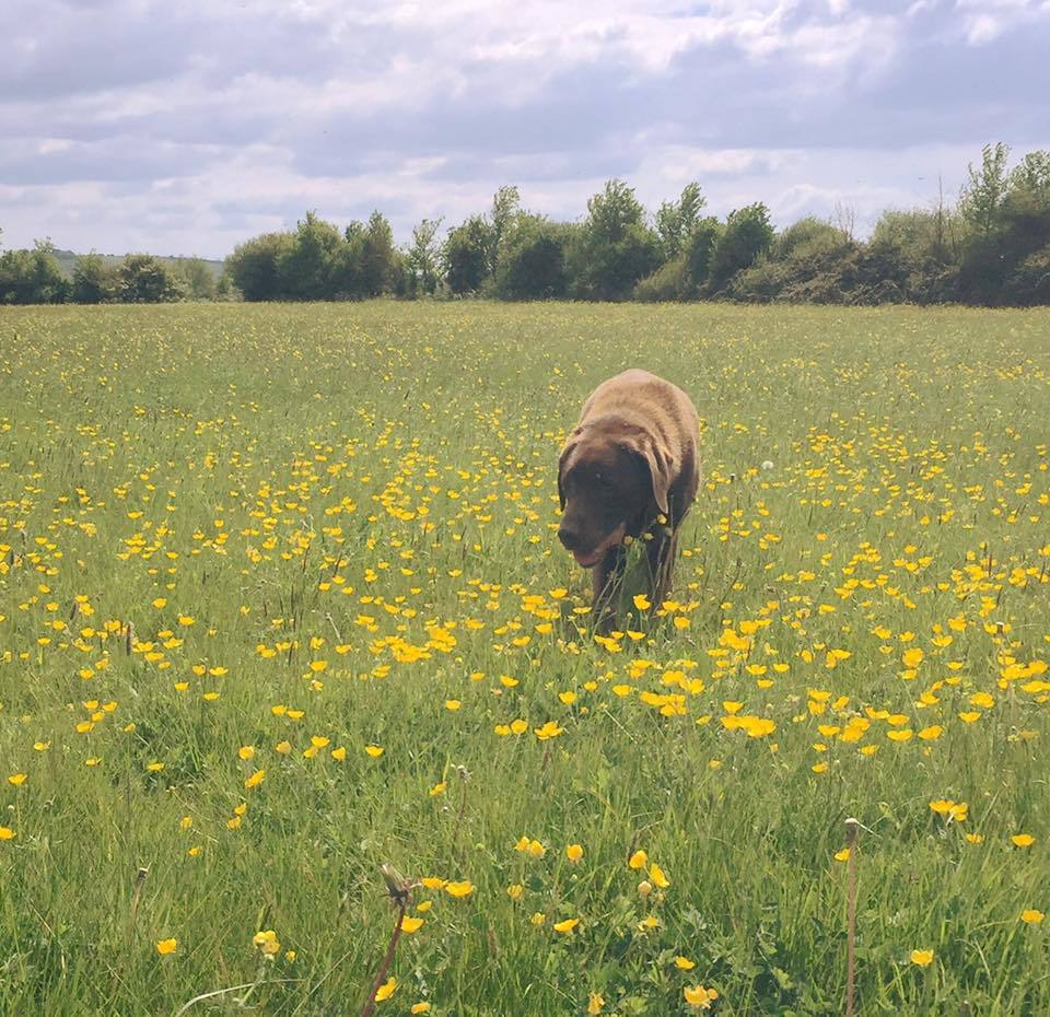 A dog with his dog walker in the buttercups